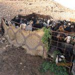 ניסוי האכלת עזים בעלוות ינבוט המסקיטו. צילם: אבי שמידע ©