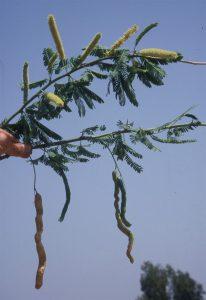 פרי ינבוט המסקיטו משתלשל על עוקץ ארוך. צילם: אבי שמידע ©