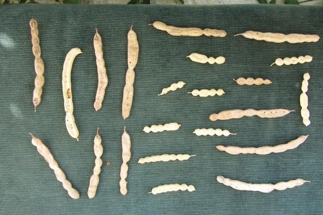 שונות בצורה ובגודל של פרי ינבוט המסקיטו מעץ אחד. צילם: אבי שמידע ©
