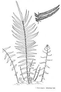 אברה ארוכת-עלים. מתוך Flora Palaestina