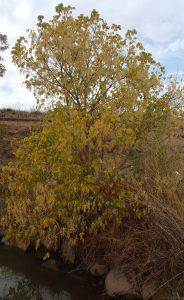 עץ נקבה של אדר מילני הגדל בגדת תעלת ההטיה של מפעל המים של כפר הנשיא. צילם: יקי אשכנזי ©