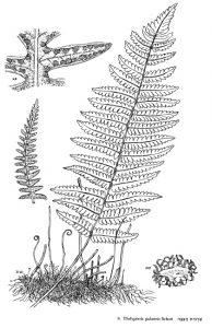 גפית הביצה.. מתוך Flora Palaestina
