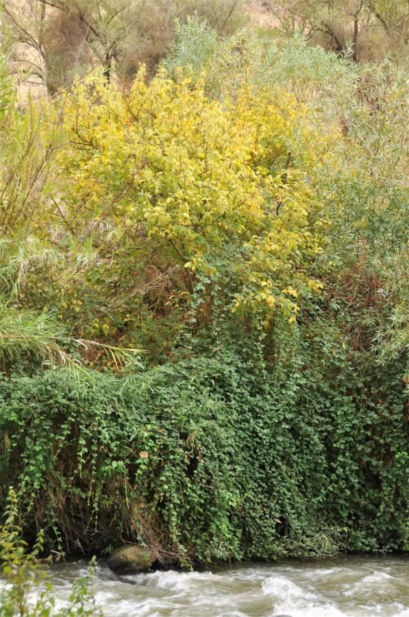 Read more about the article אדר מֵילָני Acer negundo – עץ זר חדש בנהר הירדן: האם עלול להפוך לעץ פולש ?