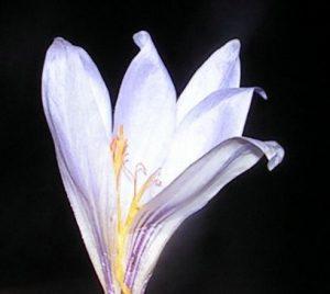 כרכום החרמון תת-מין חרמוני. צילום: שיר ורד ©