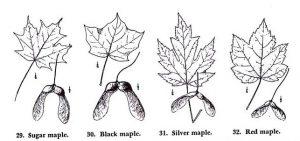 הפירות והעלים של ארבעת מיני האדר הנפוצים במערב צפון אמריקה