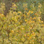 אדר מילני מתבלט בצבע שלכת צהוב בגדת הירדן ההררי. צילם אוהד כהן ©