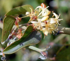 קיסוסית קוצנית - פרחי זכר. צילם: ליאור אלמגור ©