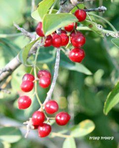 קיסוסית קוצנית - אשכולות פרי. צילמה: ערגה אלוני ©