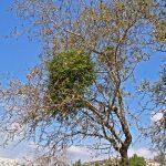 דבקון הזית על שקד מצוי. צילם: עוז גולן ©