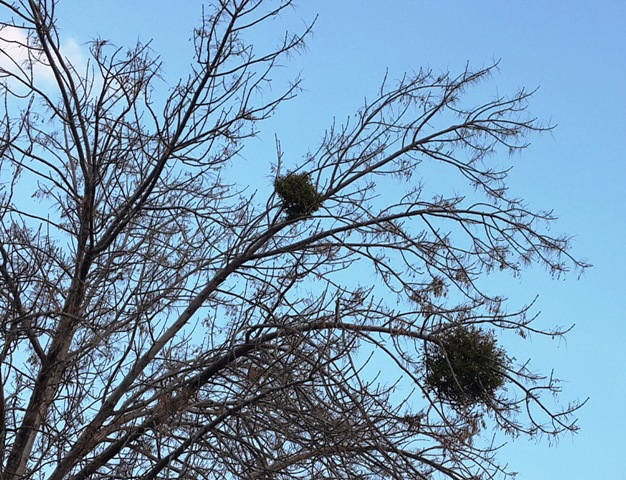 חדשות בוטניות – דבקון הזית התגלה על עץ מילה ליד קניון מלחה בירושלים