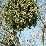 דבקון הזית על שקד מצוי. צילם: אבי שמידע ©
