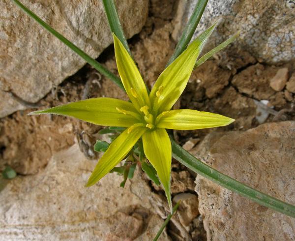 זהבית השלוחות, פרח דו-מיני, הר-הטייסים, צילם עוז גולן ©