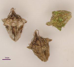 זרע אמברוסיה חשופת-שיבולת, צלמה יפעת יאיר ©
