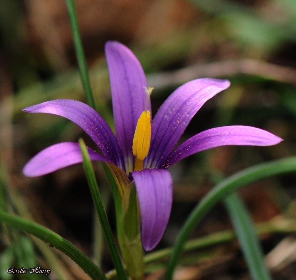 חדשות בוטניות: הפריחה של רומולאה צידונית בכרמל החלה – באיחור של חודש!