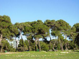 אורן ירושלים. צילם: גדי פולק ©