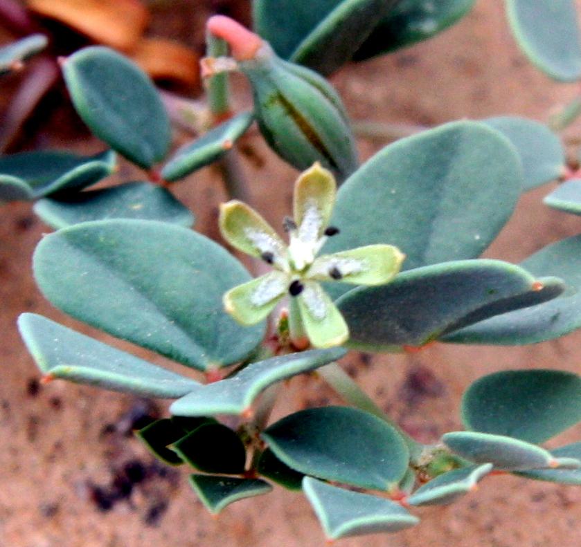 זצניה מזרחית – צמח אדום הפורח באזור אילת