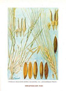 """זן של חיטת הבר מתוך הספר """"צמח מערב הירדן"""", ציורים מאת בּובֶר (Beauverd ) תרומתו המדעית של אהרנסון"""