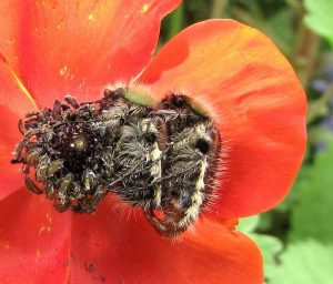 הזדווגות חיפושיות פרג בפרח של נורית אסיה. צילם: אבי שמידע ©