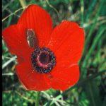 חיפושית פרג בפרח כלנית. צילם: אסף זילברטל ©