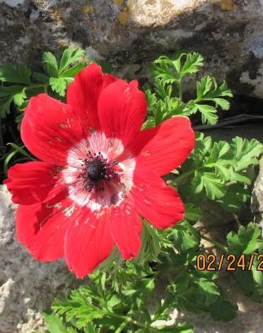 חדשות בוטניות: שריטות בפרח הכלנית- חיפושיות האוכלות רעל להגן על עצמן בפני טורפיהן