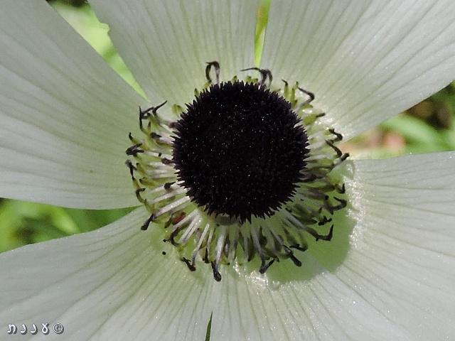 """פרח כלנית לבנה """"עקר זכרית"""" מיער ראש העין. צילמה: יעל אורגד ©"""
