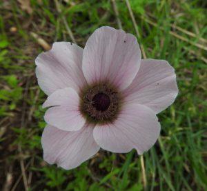 פרח כלנית עקר זכרית. צילמה: אראלה הרי ©