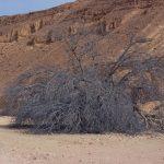 אלה אטלנטית בנחל בוטם. העץ מת, 2008. צילם: עוזי אבנר ©;