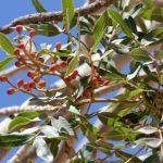 אלה אטלנטית במעלה עקוף, עלים ופירות, 2011. צילם: בני שלמון ©;