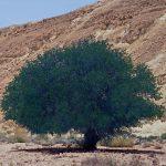 אלה אטלנטית בנחל בוטם. העץ חי ב-1994, צילם: עוזי אבנר ©;