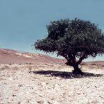 אלה אטלנטית בבאר מלחן. העץ חי, 1970. צילם: עוזי אבנר ©