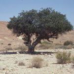אלה אטלנטית בבאר מלחן. העץ חי, 1996. צילם: עוזי אבנר ©