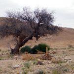 אלה אטלנטית בבאר מלחן. העץ מת, 2010. צילם: בני שלמון ©