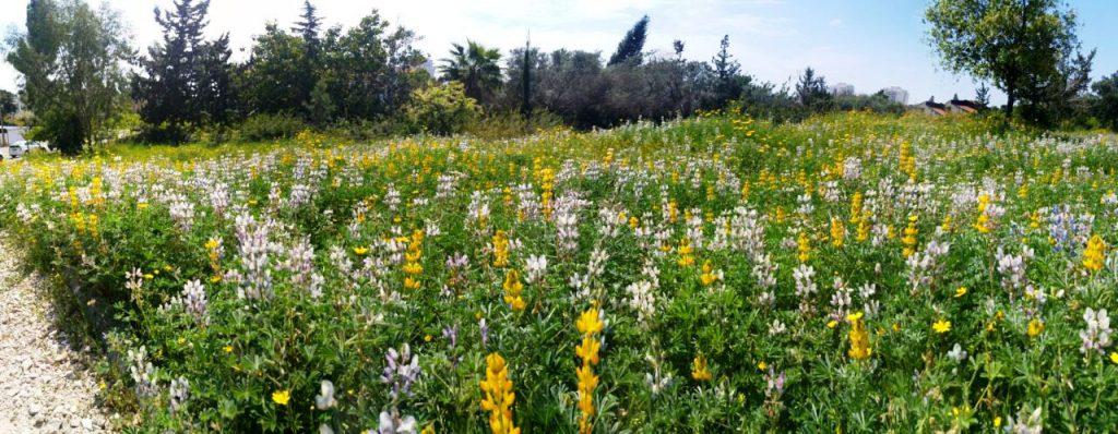 חלקת צמחי הבר בגן היובל (גבעת רזיאל) בהרצליה. צילם: עופר הוכברג©