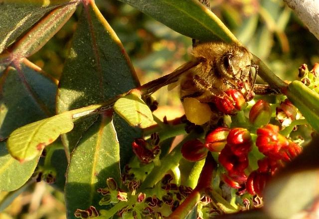 חדשות בוטניות: דבורי דבש אוספות אבקה בתפרחות זכריות של אלת המסטיק
