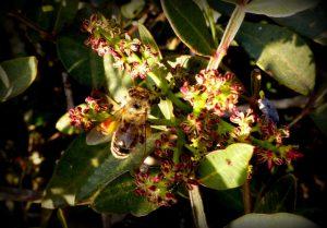דבורת דבש אוספת אבקה בפרחי זכר של אלת המסטיק. צילם: ישי שמידוב ©