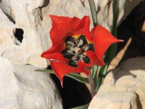 צבעוני ההרים. צילם: שיר ורד ©