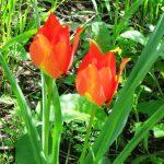 צבעוני ההרים תת-מין השרון. צילם: שיר ורד ©