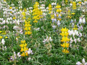תורמוס צהוב ותורמוס ארץ-ישראלי בגן היובל בהרצליה. צילם: גדי פולק ©