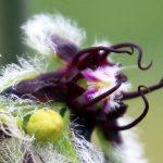 חלביב רותמי - הפרח. צילמה: ערגה אלוני ©