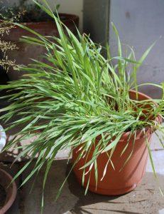 סייפן התבואה - צמחים בני שנתים שהתפתחו מזרעים. צילמה: ערגה אלוני©
