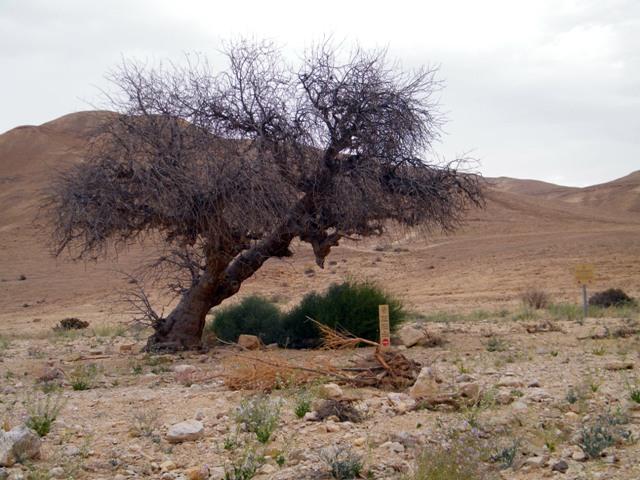 Read more about the article תמותת אלות אטלנטיות במדבר צחיח קיצוני – עדות להקצנה באקלים דרום ישראל