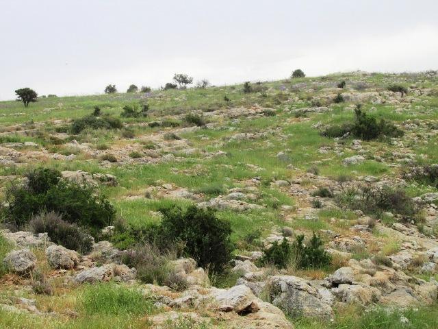 שיחיה פתוחה של אוג קוצני ואשחר ארץ-ישראלי בהדום ההר ממזרח לראש העין