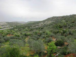 כרם זיתים בעמק שעורים ובתוכו עצי אלון התולע. צילם: גדי פולק ©
