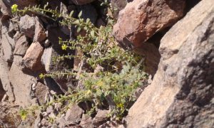 באשן זהוב-פרחים בהר צפחות, הרי אילת. צילם: דודי ריבנר ©