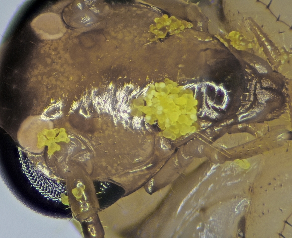 גרגרי אבקה של נר-הלילה החופי על ראש תיקן נר הלילה. צילם: עוז גולן ©