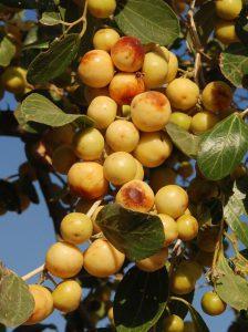 """""""דומים"""" - פירות השיזף המצוי. צילם: עוזי פז ©"""