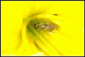 דבורת דבש בפתח צינור הכותרת של נר-הלילה החופי. צילם: עמיר וינשטיין ©