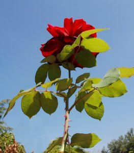 ורד אדום. צילם: עוזי פז ©