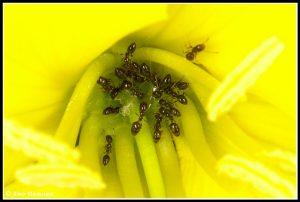 נמלים בפרח של נר-הלילה החופי. צילם: עמיר וינשטיין ©