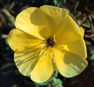 חיפושית רפואה מהסוג Mylabris בפרח של נר-הלילה החופי. צילם: עמיר וינשטיין ©